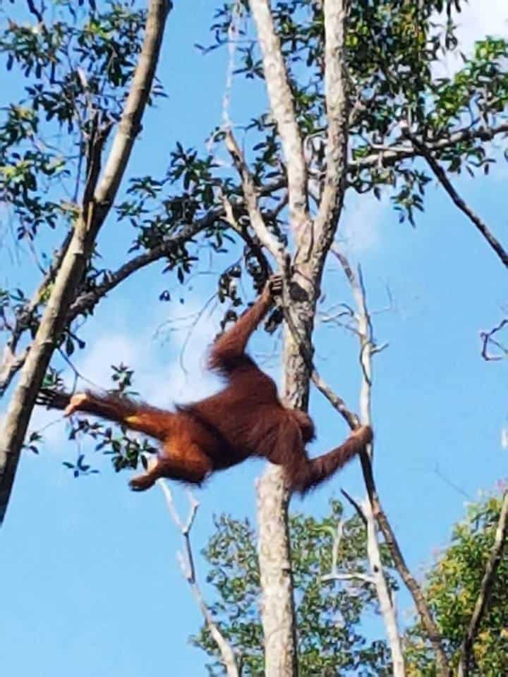 orangutangene i kalimantan